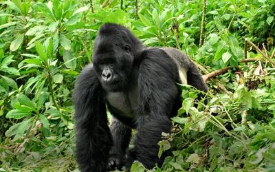 Uganda & Rwanda Gorillas Safari